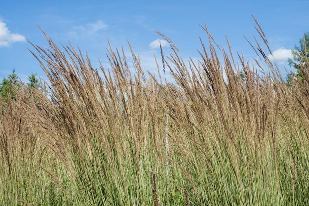 De hautes épis d'herbe contre le ciel bleu.