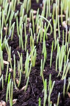 Hautes pousses vertes d'herbe ou d'herbe au printemps, sol noir pour les plantes