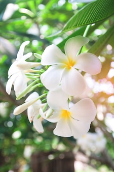 Hawaii plumeria leaf bloom floral