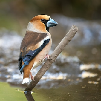 Hawfinch (coccothraustes coccothraustes) sur la mangeoire d'hiver.