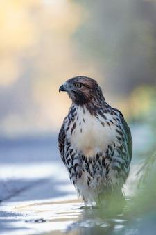 Hawk au repos dans la nature