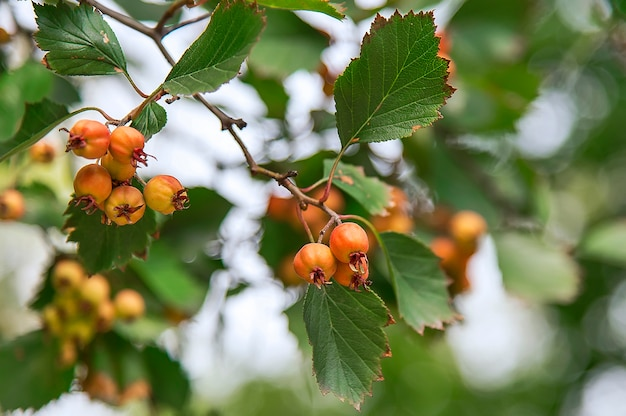 Hawthorn en automne