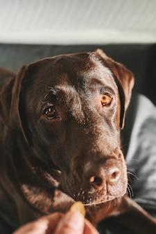 Head shot portrait d'un labrador retriever en attente d'un prix