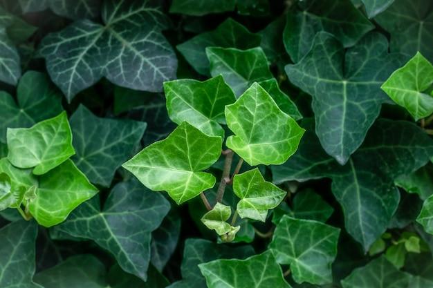 Hedera hélice. vigne à feuilles persistantes, plante sauvage à fleurs grimpantes du genre lierre commun de la famille des araliaceae. gros plan de feuilles sombres dans le jardin, fond vert nature. papier peint botanique naturel.