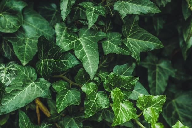 Hedera helix, lierre commun. vigne à feuilles persistantes, plante sauvage à fleurs grimpantes du genre lierre de la famille des araliaceae. gros plan de feuilles sombres dans le jardin, fond nature, papier peint naturel vert.