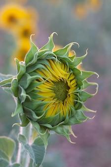 Helianthus annuus, communément appelé tournesol, calom, jquima, souci, mirasol, tlapololote, maïs de tuile, acahual ou fleur de bouclier
