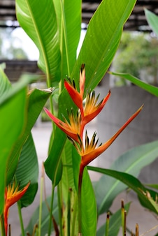 Heliconia orang-green torch flower avec fond de feuilles vertes