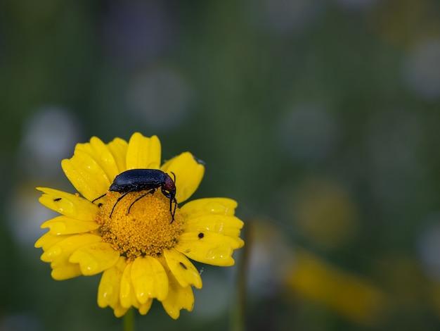 Heliotaurus ruficollis. beetle photographié dans son environnement naturel.
