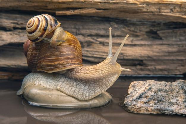 Helix pomatia. l'escargot grimpe de pierre en pierre. mollusque et invertébré. viande de délicatesse et gastronomie.