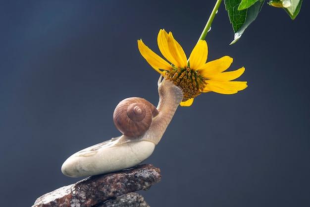 Helix pomatia. escargot sur une pyramide de pierre est attiré par l'odeur d'une fleur jaune. mollusque et invertébré. viande de délicatesse et gastronomie.