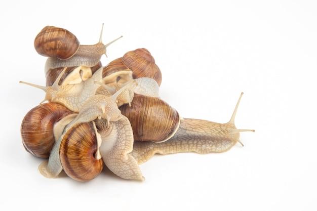 Helix pomatia. escargot de raisin. mollusque et invertébré. nourriture de viande protéinée gastronomique. communication de l'individu dans la société