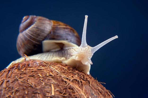 Helix pomatia. escargot de raisin sur une noix de coco sur une obscurité. mollusque et invertébré. nourriture de viande protéinée gastronomique.