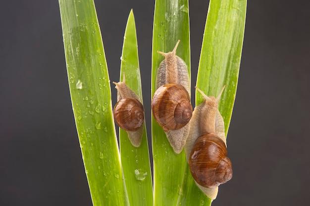 Helix pomatia. escargot de raisin rampant sur les feuilles vertes. mollusque et invertébré. viande de délicatesse et gastronomie. relaxation