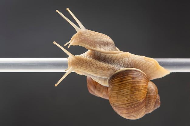 Helix pomatia. les escargots sont suspendus à un tube en plastique. romance et relations dans le règne animal. mollusque et invertébré. viande de délicatesse et gastronomie.