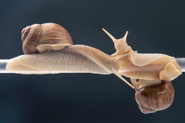 Helix pomatia. les escargots sont suspendus à un tube en plastique. romance et relations dans le règne animal.