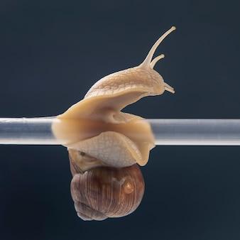 Helix pomatia. escargots suspendus à un tube en plastique