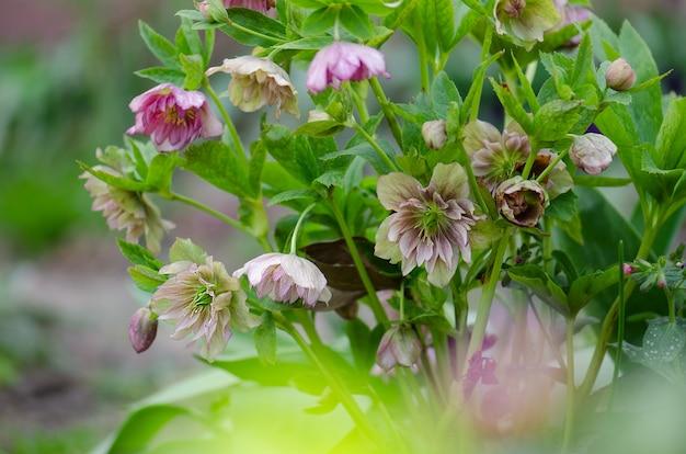 Hellebore double ellen picotee fleurs