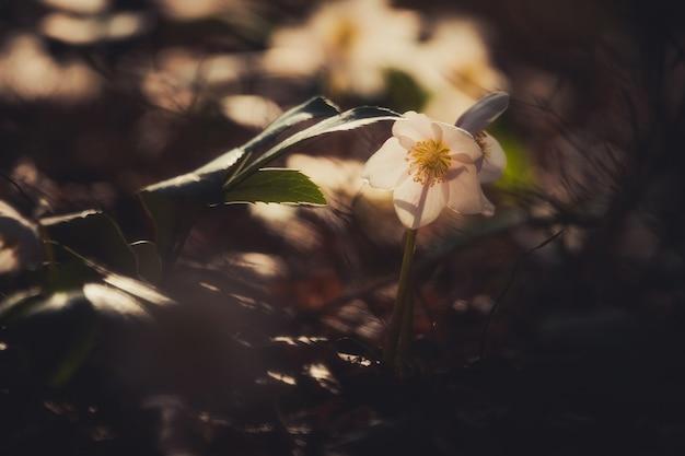 Helleborus niger fleur dans la forêt de printemps