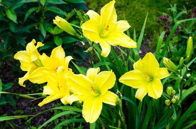 Hemerocallis jaune dans le jardin en soirée. photo