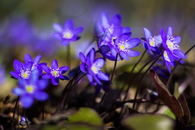 Hepatica au début du printemps, fleurs violettes poussant dans la forêt.