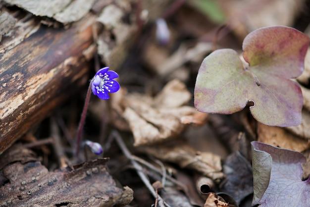 Hepatica nobilis fleur, gros plan pris à l'extérieur