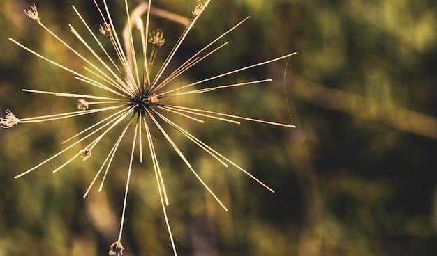 Heracleum mantegazzianum gros plan et avion au dessus avec toile d'araignée