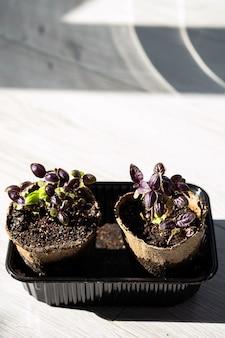 Herbe de basilic pourpre à la maison en pot de tourbe