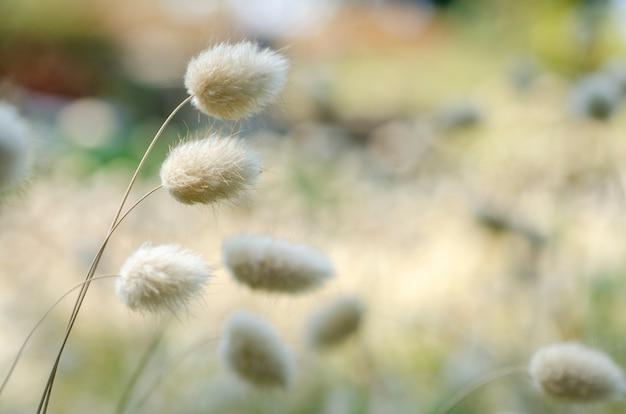 Herbe blanche flou avec l'arrière-plan flou.
