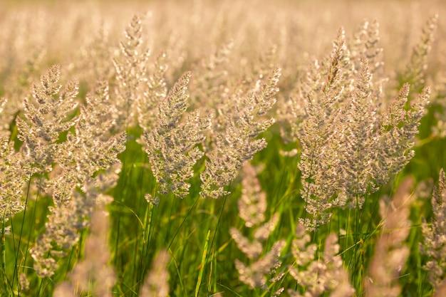 Herbe des champs et fleurs en contre-jour lumineux. nature et botanique florale