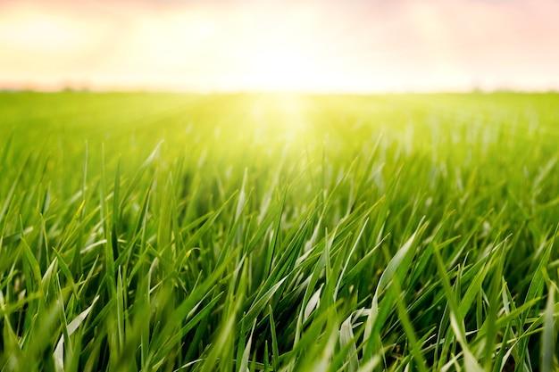 Herbe Dans Le Champ, éclairée Par Le Soleil Au Coucher Du Soleil Photo Premium