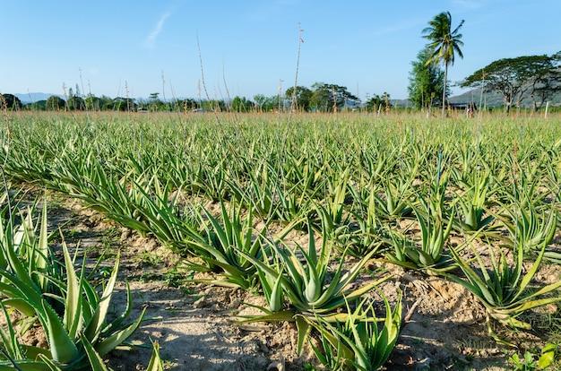 Herbe dans la culture sur le terrain de plantation d'aloe vera, ferme et agriculture en thaïlande