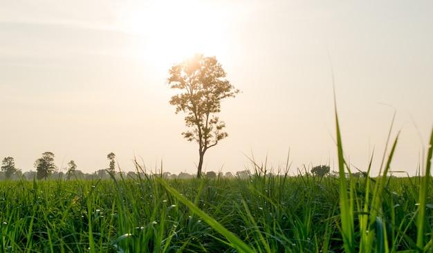 Herbe dans la lumière et paysage solitaire arbre nature.