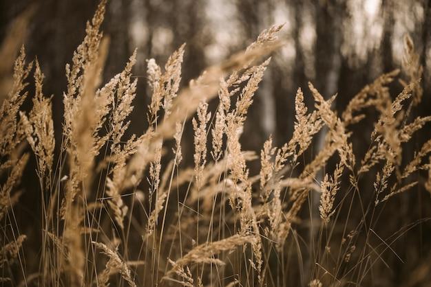 Herbe duveteuse séchée au soleil fond naturel flou