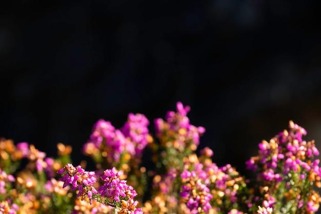 Herbe de fleurs de bruyère avec fond noir et espace de copie