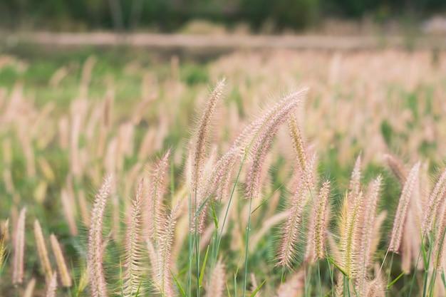 Herbe en fleurs, herbe de mission, vue magnifique, plume de pennisetum ou herbe de mission