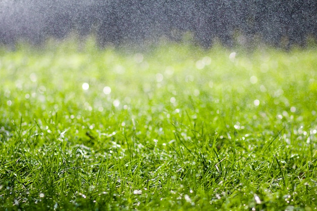 Herbe fraîche verte avec des gouttes d'eau de pluie tombant le matin