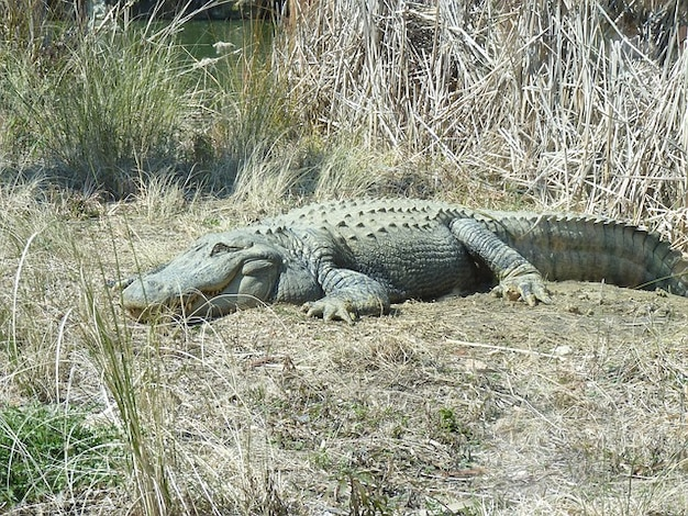 Herbe heureux jour se baigner alligator dim.