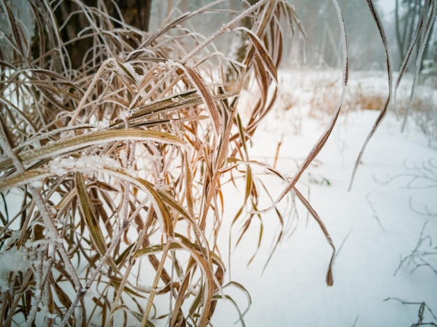 Herbe jaune sèche sous la neige soft focus close up