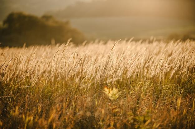 Herbe jaune sur le terrain au soleil au coucher du soleil