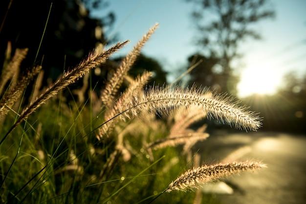 Herbe avec la lumière du soleil sur la campagne suburbaine