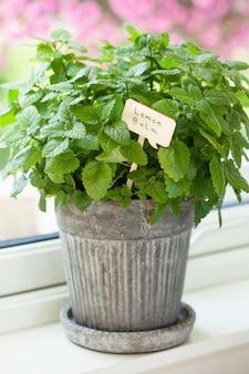 Herbe de mélisse (melissa) en pot de fleurs avec étiquette de nom sur la fenêtre