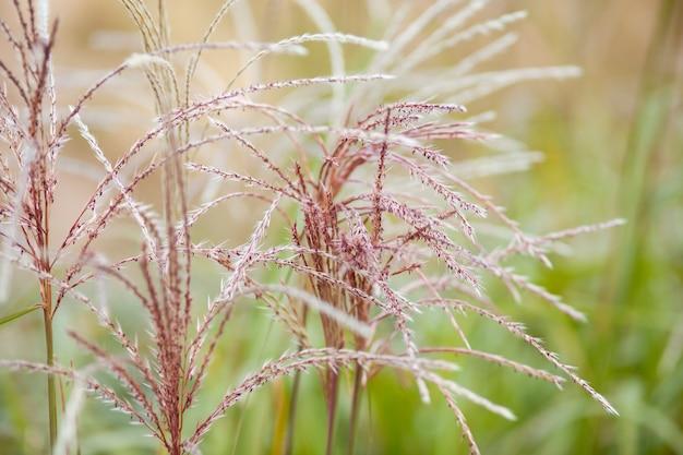Herbe de la pampa dans l'aménagement paysager déclaration de tendance naturelle faisant pousser des fleurs