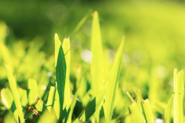 Herbe sur pelouse en été avec le lever du soleil.