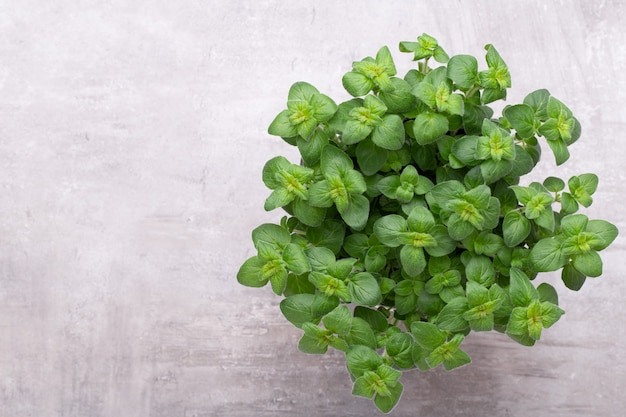 Herbe de persil, basilic, salvija, feuilles, thym, épices menthe sur fond blanc.