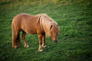 L'herbe poney