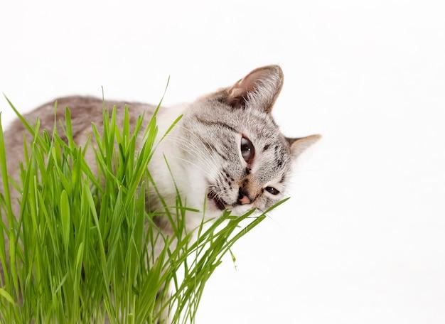 Herbe pour chats, le chat gris mange de l'herbe.