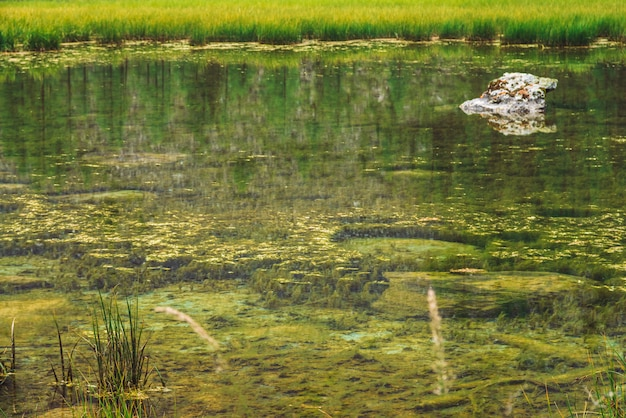 L'herbe pousse dans une eau calme et propre de près. fond de marais marigot du lac de montagne en pierre. les arbres se reflètent dans la surface d'eau lisse idéale. vert atmosphérique naturel des hautes terres.