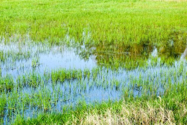 L'herbe pousse dans l'eau près d'un petit marais, gros plan au printemps ou en été