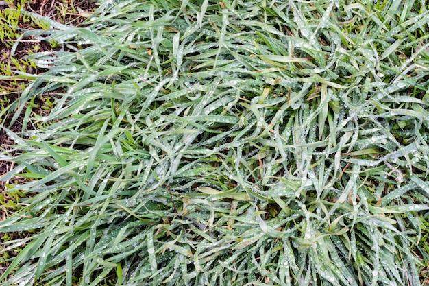 L'herbe de printemps est couverte d'abondantes gouttes de pluie. l'herbe verte après la pluie est en gros plan. fond, texture d'herbe verte. notion de printemps.