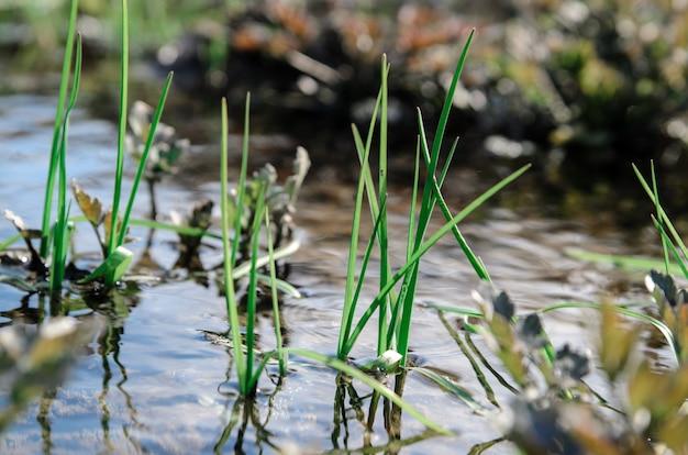 L'herbe de printemps poussant près du ruisseau.